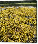 Rock Weed Fucus Gardneri At Low Tide Canvas Print