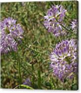 Rocky Mountain Bee Plant Canvas Print