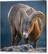 Rocky Mountain Big Horn Ram Canvas Print