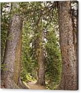 Rocky Mountain Forest Walk Canvas Print