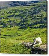 Rocky Mountain Goat Glacier National Park Canvas Print