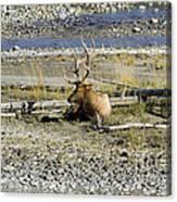 Rocky Mountains Elk Canvas Print