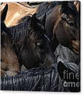 Rodeo Bucking Stock Canvas Print