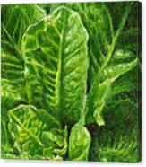 Romaine Unfurling Canvas Print