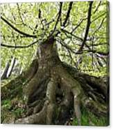 Roots Of An Old Beech Tree Canvas Print