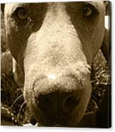 Roscoe Pitbull Eyes Canvas Print