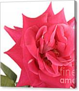 Rose Blooming Canvas Print