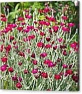 Rose Campion (lychnis Coronaria) Canvas Print