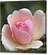 Rose Flower Series 12 Canvas Print