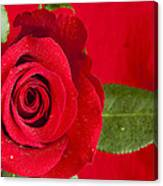 Rose Flower Wet 1 B Canvas Print