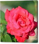 Rose In The Morninglight Canvas Print