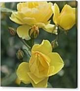 Rose (rosa 'charlotte Auspoly') Canvas Print