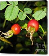 Rosehips Canvas Print