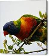 Rosella Splendour  Canvas Print
