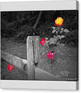 Roses And Fence Canvas Print