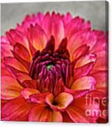 Rosy Dahlia Canvas Print