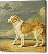 Rough-coated Collie Canvas Print