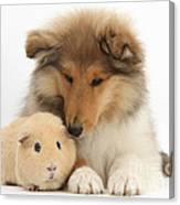 Rough Collie Pup And Yellow Guinea Pig Canvas Print