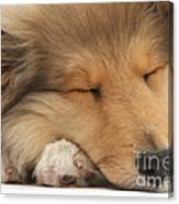 Rough Collie Pup Canvas Print