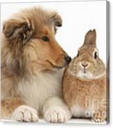 Rough Collie Pup With Rabbit Canvas Print