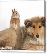 Rough Collie Pup With Sandy Netherland Canvas Print
