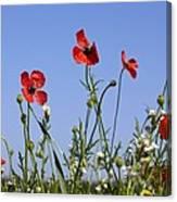 Rough Poppy (papaver Hybridum) Canvas Print