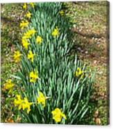 Row Of Daffodils Canvas Print