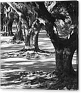 Row Of Oaks - Black And White Canvas Print