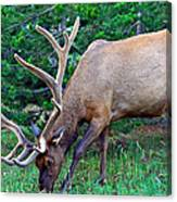 Royal Bull Elk Canvas Print