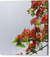 Royal Poinciana Tree Canvas Print