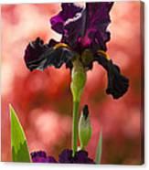 Royal Purple Tall Bearded Iris With Peachy Azalea Background Canvas Print