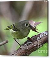 Ruby-crowned Kinglet Nabs A Moth Canvas Print