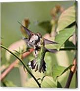 Ruby-throated Hummingbird - An Altercation Canvas Print