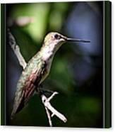 Ruby-throated Hummingbird - Just Beautiful Canvas Print