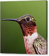 Ruby-throated Hummingbird - Macho Man Canvas Print