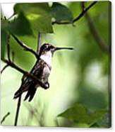 Ruby-throated Hummingbird - Shade Canvas Print