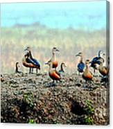 Ruddy Shelducks Canvas Print
