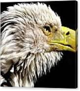 Ruffled Bald Eagle Canvas Print