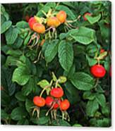 Rugosa Rose With Rose Hips Canvas Print