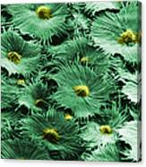 Russian Silverberry Leaf  Canvas Print