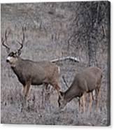 Rutting Buck Canvas Print