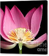 Sacred Lotus Nelumbo Nucifera Canvas Print
