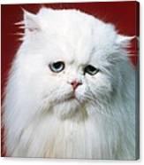 Sad Persian Cat Canvas Print