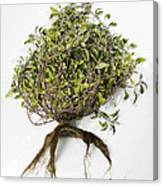 Sage Plant And Roots Canvas Print