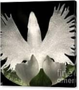 Sagi-so Or Crane Orchid Canvas Print