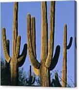 Saguaro Cacti In Desert Landscape Canvas Print