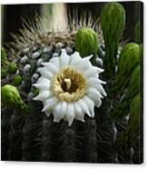 Saguaro Cactus Blooms  Canvas Print