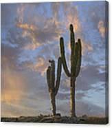 Saguaro Carnegiea Gigantea Cacti, Cabo Canvas Print
