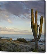 Saguaro Carnegiea Gigantea Cactus Canvas Print