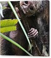 Sak-monkey Canvas Print
